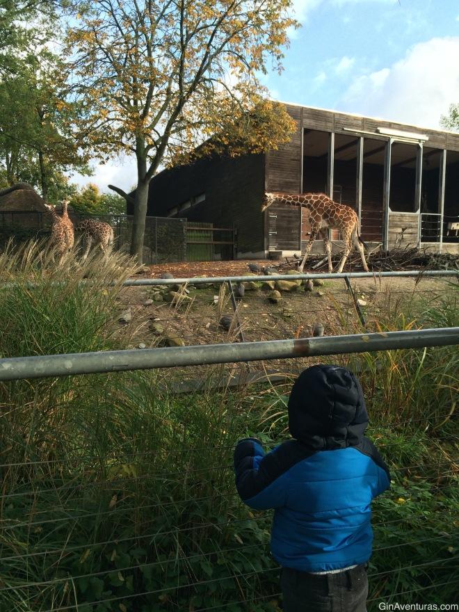 Admirando las jirafas