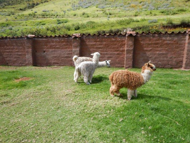 Aprendimos mucho sobre llamas, alpacas y vicuñas