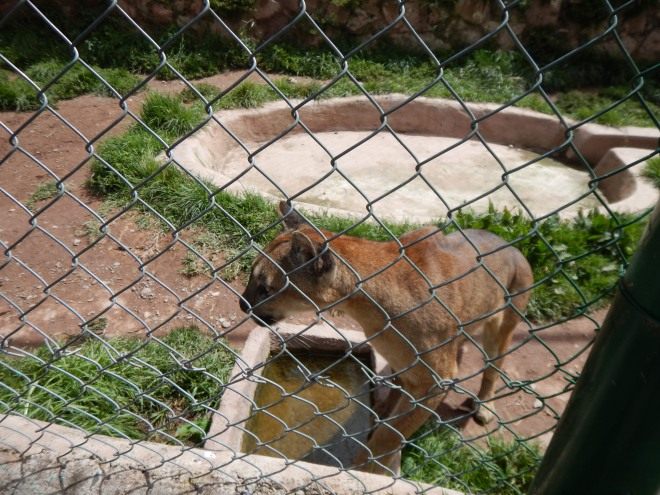 Roar! un Puma