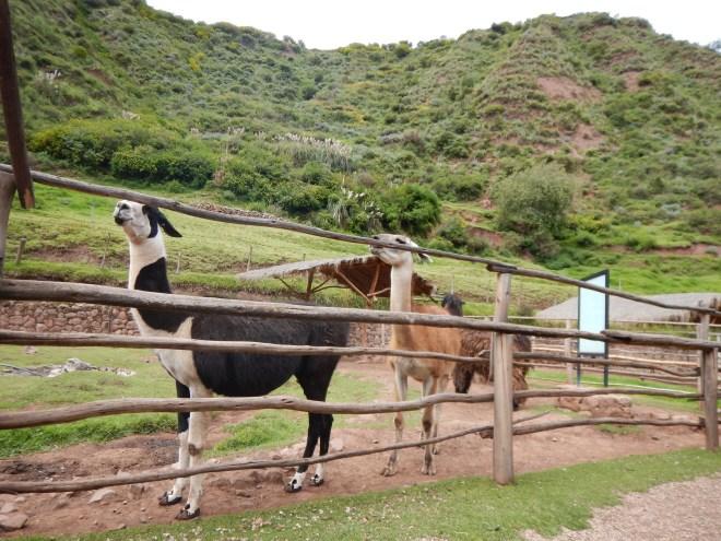 Un breve y divertido recorrido por Awankancha