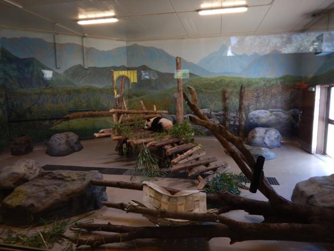Exhibición de pandas