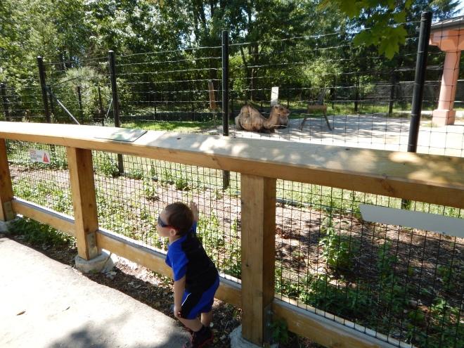 Admirando camellos