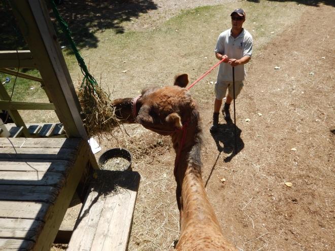 Nuestro camello comiendo su snack