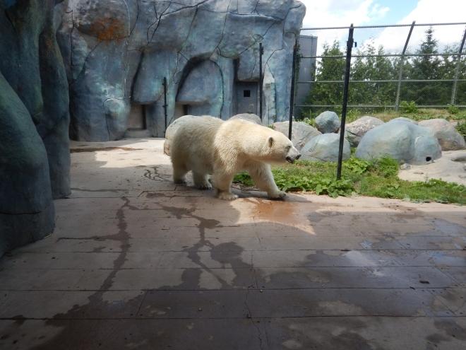 Oso polar en Toronto Zoo