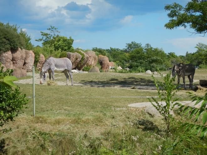 Cebras en la región africana